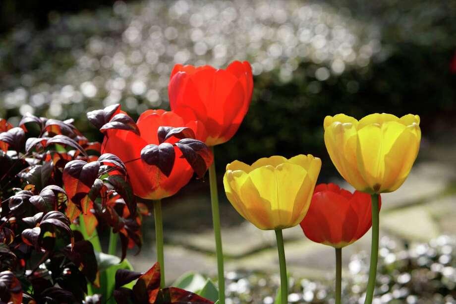 'Apeldoorn' and 'Golden Apeldoorn' tulips typically bloom in March. Photo: Jill Hunter / Freelance