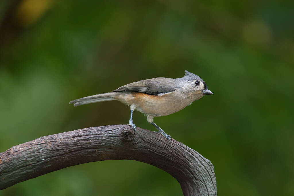 Learning to identify birds through their song isnt so tough listen for the tufted titmouse singing its peter peter peter song photo sciox Images