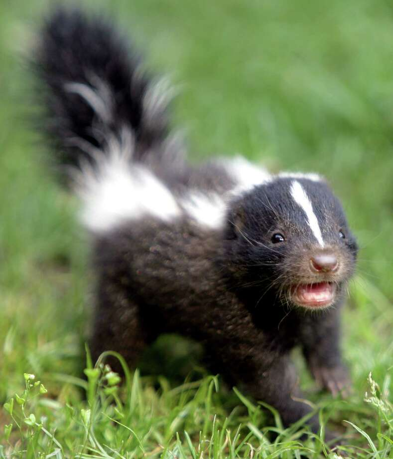 In February and March, male skunks are single-mindedly waddling out at night seeking females. Photo: Floridapfe From S.Korea Kim In C, Getty Images / Getty Images