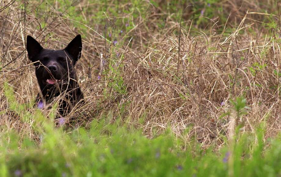 A stray dog peeks through the brush along Langley Road in Houston last month. Photo: J. Patric Schneider, Freelance / © 2014 Houston Chronicle