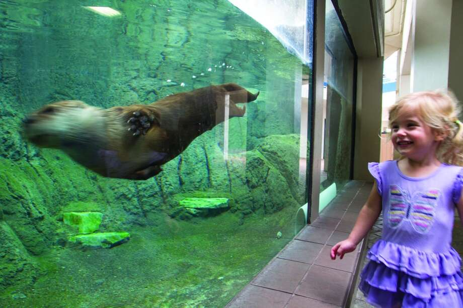Sophie Tedesco, 3, is entertained by an otter swimming in the Texas State Aquarium in Corpus Christi. Photo: John Tedesco, San Antonio Express-News