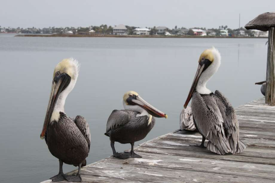 6.Brown pelicans are almost as common as people in Rockport. Photo: Karen-Lee Ryan, For The Express-News