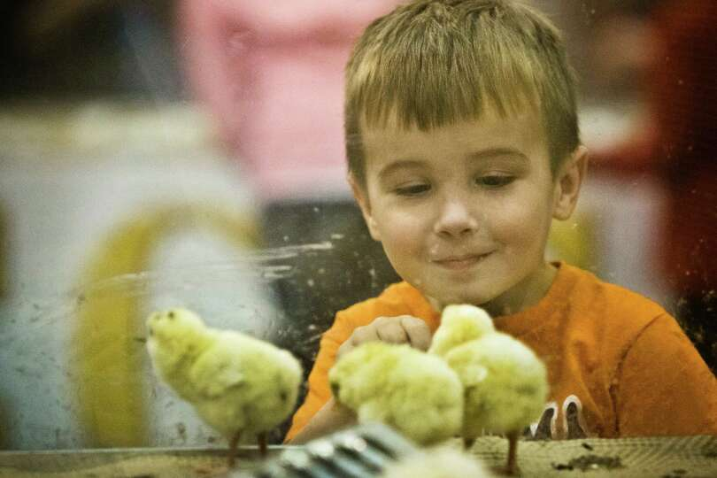 Conner Howard, 4,  observes recently hatched chicks at Reliant Center during the Houston Livestock S