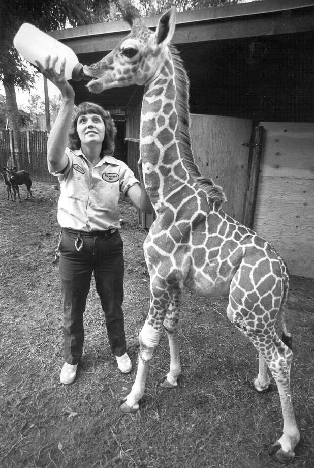 April 8 is National Zoo Lovers Day! In honor of that, we've dug up some of the best San Antonio Zoo photos from our archives. Enjoy!Rose Gabriel, a nursery attendant at the San Antonio Zoo, feeds Antonio, a reticulated giraffe, on June 13, 1989. Antonio was born at the zoo on April 5, and was too weak to stand on his own, so zookeepers are nursing him back to health. Photo: Craig Stafford, San Antonio Express-News File Photo