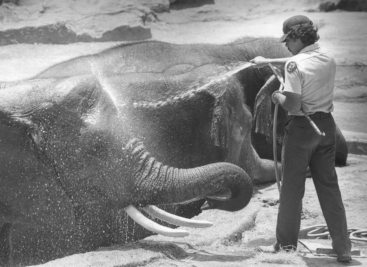 Elephants at the San Antonio Zoo get hosed down to keep cool in July 1982.