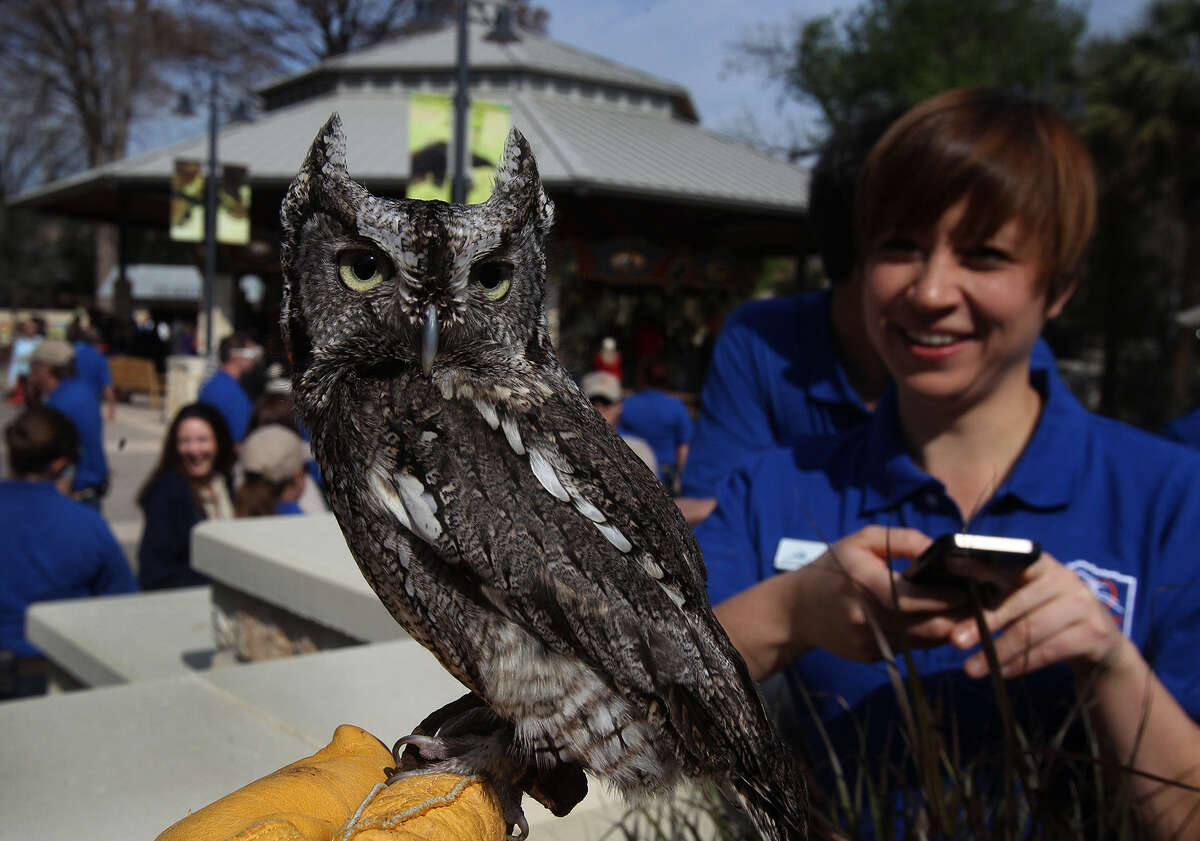 """""""Twig"""" the screech owl sits on the hand of zoo employee Laura Personius as Samantha Litchke (right) watches Friday March 7, 2014 during the opening of Zootennial Plaza at the San Antonio Zoo. The opening of the new area at the zoo marks the San Antonio Zoo's 100th anniversary and features a restaurant, a carousel ride (behind owl), and a centralized family gathering area."""