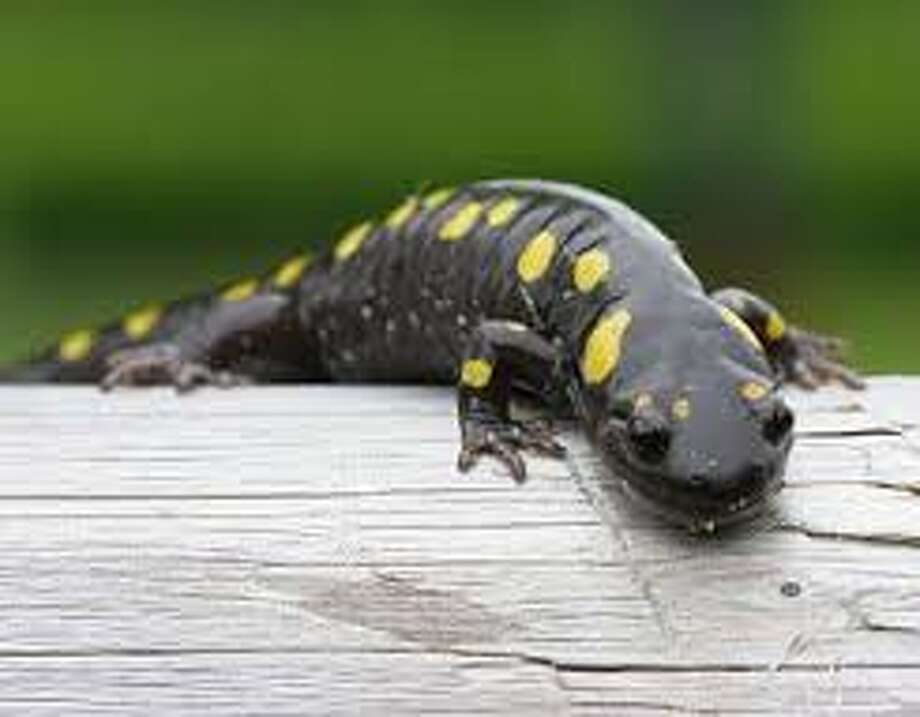 "Celebrate the ""Year of the Salamander"" on Sunday with the Stamford Museum & Nature Center's environmental education staff as they investigate amphibians and all of our favorite slimy stuff. Explore vernal pools and trails to look for slimy friends like frogs, salamanders and slugs, meet some live amphibians, learn to grow your own mushrooms, and make your own slime to take home! Limited enrollment. Find out more."