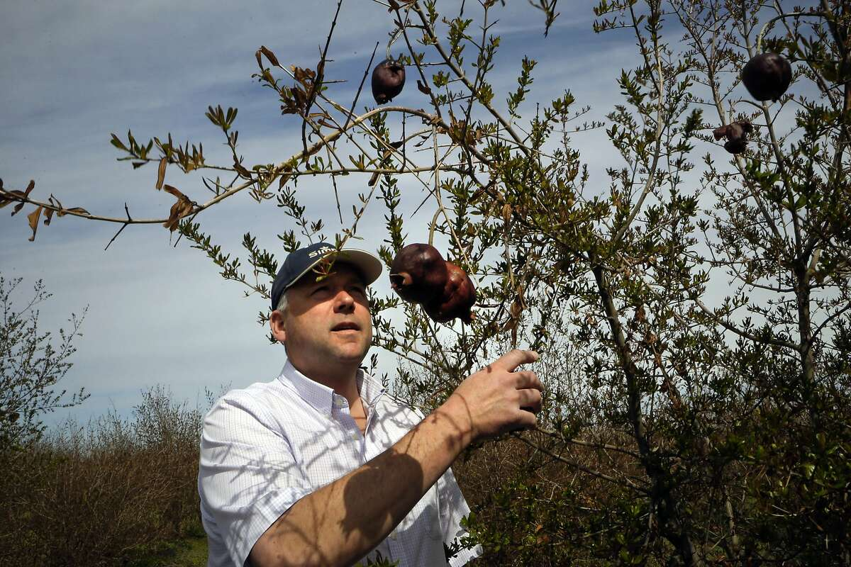 Farmer Shawn Coburn at one of his Pomegranate orchards near Firebaugh, Calif. on Friday March 07, 2014, which will be left to die this year due to the water shortage. With the current drought striking Northern California's central valley farmers are dealing with long-range concerns about water supplies and whether they will have enough to depend on to grow their crops in the years to come.