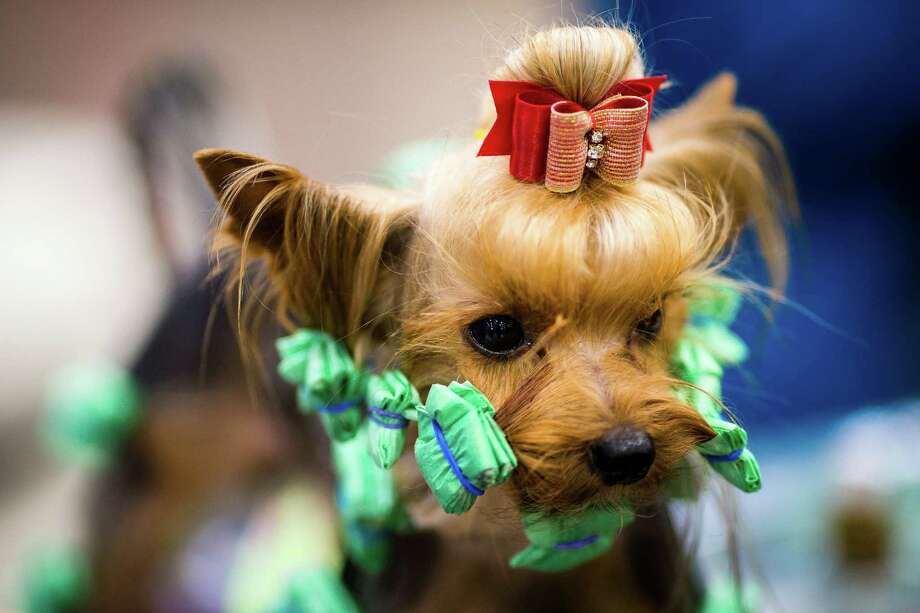 Twix, the tiny Yorkshire terrier, has his floor-length hair tied up to avoid dragging dust and dirt with him at the Seattle Kennel Club's 137th annual All-Breed Dog Show Sunday, March 9, 2014, at CenturyLink Field Event Center in Seattle. The second day of the event clocked in with 1721 dogs and 158 breeds. Photo: JORDAN STEAD, SEATTLEPI.COM / SEATTLEPI.COM