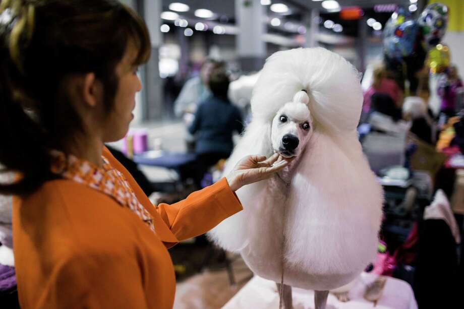 Lulu, right, a Standard Poodle owned by Kaori Kuroyama, left, gives a sideways glance while getting primped before her showing at the Seattle Kennel Club's 137th annual All-Breed Dog Show Sunday, March 9, 2014, at CenturyLink Field Event Center in Seattle. Sunday, the second day of the event, clocked in with 1721 dogs and 158 breeds. Photo: JORDAN STEAD, SEATTLEPI.COM / SEATTLEPI.COM