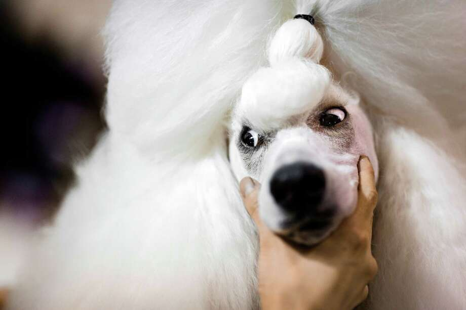 Lulu, a Standard Poodle owned by Kaori Kuroyama, hand pictured, gives a sideways glance while getting primped before her showing at the Seattle Kennel Club's 137th annual All-Breed Dog Show Sunday, March 9, 2014, at CenturyLink Field Event Center in Seattle. Sunday, the second day of the event, clocked in with 1721 dogs and 158 breeds. Photo: JORDAN STEAD, SEATTLEPI.COM / SEATTLEPI.COM