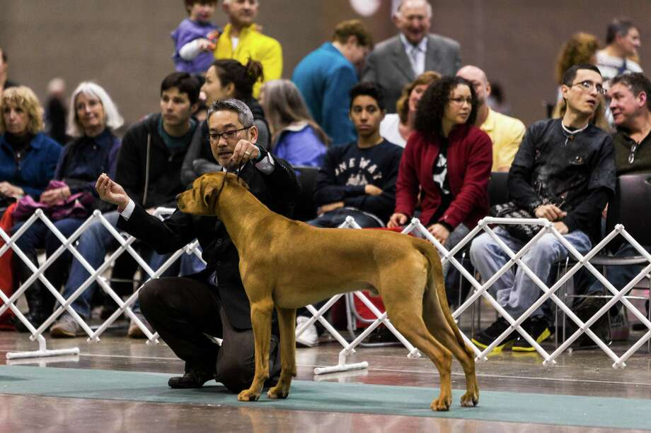 Animals are shown for placement at the Seattle Kennel Club's 137th annual All-Breed Dog Show Sunday, March 9, 2014, at CenturyLink Field Event Center in Seattle. The second day of the event clocked in with 1721 dogs and 158 breeds. Photo: JORDAN STEAD, SEATTLEPI.COM / SEATTLEPI.COM