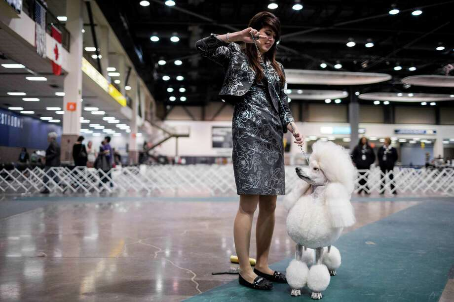 Best junior handler award recipient Lindsay Gorder, 18, readies herself and her dog, Paris, a 3-year old Standard Poodle, for the Best In Show competition at the Seattle Kennel Club's 137th annual All-Breed Dog Show Sunday, March 9, 2014, at CenturyLink Field Event Center in Seattle. The second day of the event clocked in with 1721 dogs and 158 breeds. Photo: JORDAN STEAD, SEATTLEPI.COM / SEATTLEPI.COM