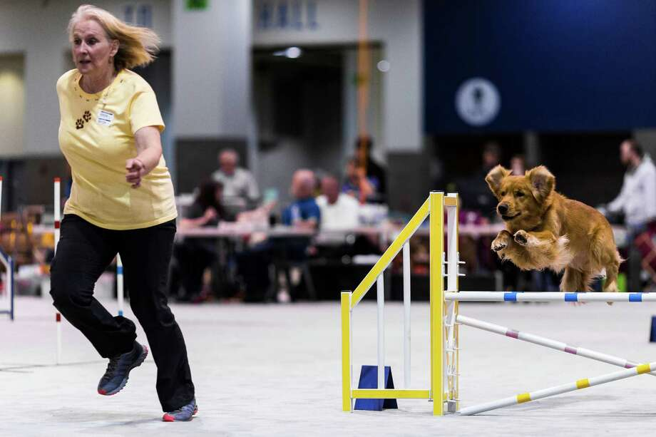 Dogs sail over jumps of an agility course at the Seattle Kennel Club's 137th annual All-Breed Dog Show Sunday, March 9, 2014, at CenturyLink Field Event Center in Seattle. The second day of the event clocked in with 1721 dogs and 158 breeds. Photo: JORDAN STEAD, SEATTLEPI.COM / SEATTLEPI.COM
