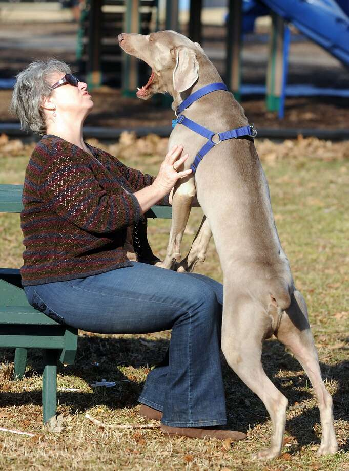 Despite his considerable length, Dobbie the Weimaraner insists on sitting on Nancy 