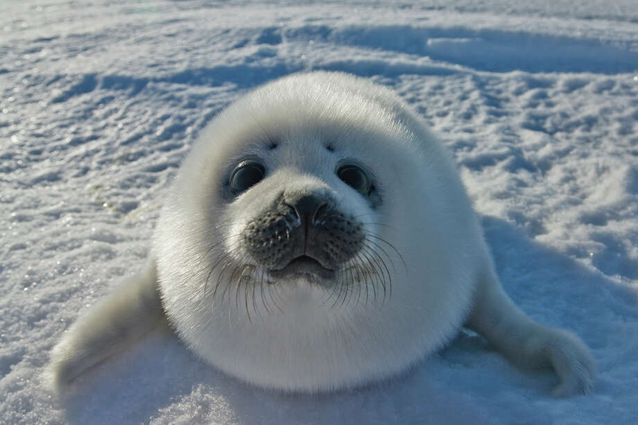 World Day of Action Against Seal Hunting:On March 15 we also take a break from clubbing baby seals. Photo: Keren Su, Getty Images / (c) Keren Su