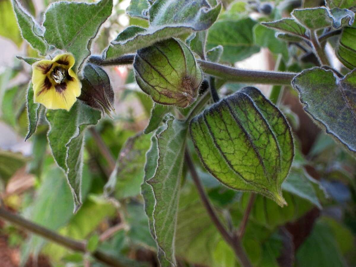 Ground cherry plants have furry leaves, purple-splashed yellow flowers, and form their tasty fruits in lantern-shaped husks.