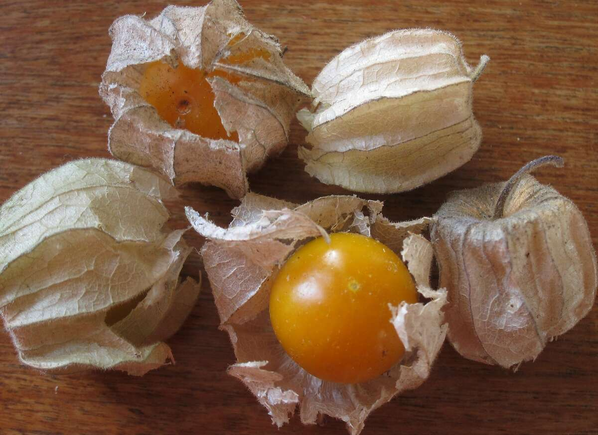 Ripe ground cherries are golden orange, sweet and tart. When ripe, the husk is brown and the fruit falls from the plant.