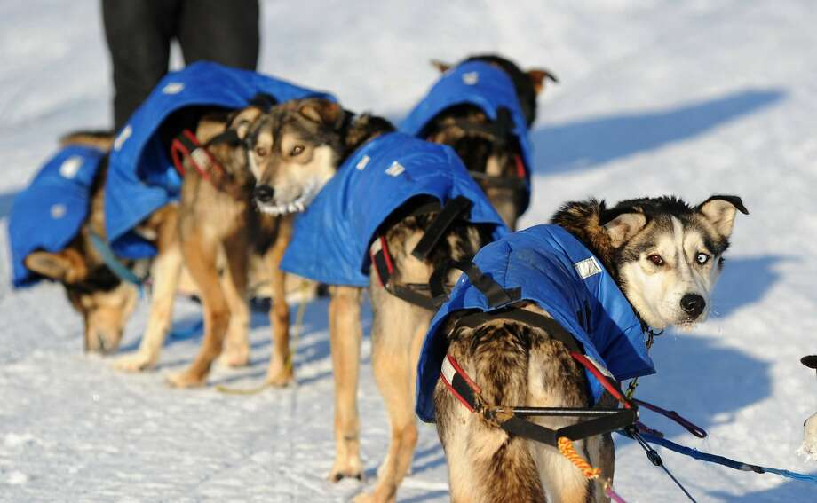 Mitch Seavey's dogs look back at the musher after reaching the White Mountain checkpoint. Photo: Bob Hallinen, McClatchy-Tribune News Service
