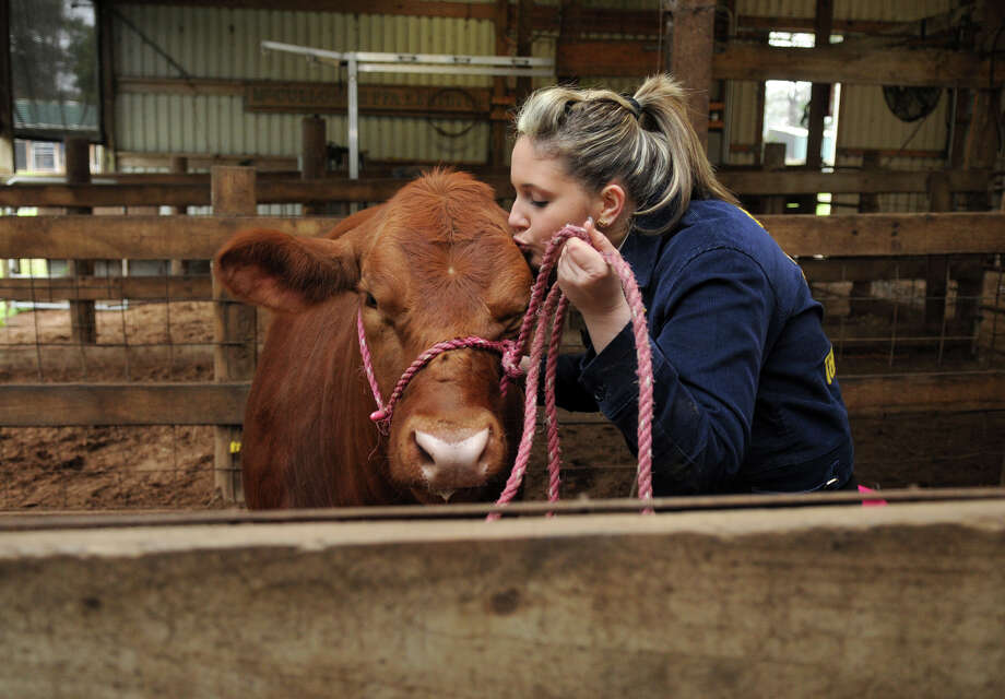 "Lauren Campbell, a sophomore at The Woodlands High School, smooches ""Annabelle"" at Conroe ISD's Ag Facility. The traditionally rural FFA sees membership booming with suburban students like Campbell. Photo: Jerry Baker, Freelance"