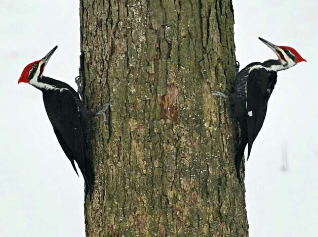 A pair of Pileated Woodpeckers forage around an oak tree Monday, March 10, 2014, in Clifton Park, N.Y.  (John Carl D'Annibale / Times Union) Photo: John Carl D'Annibale