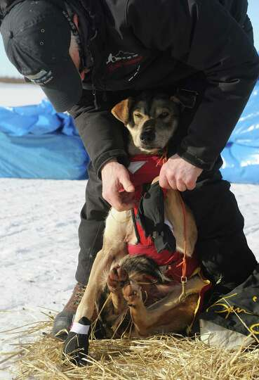Iditarod musher Jeff King, from Denali, Alaska, puts booties on his dog's feet on the frozen Fish