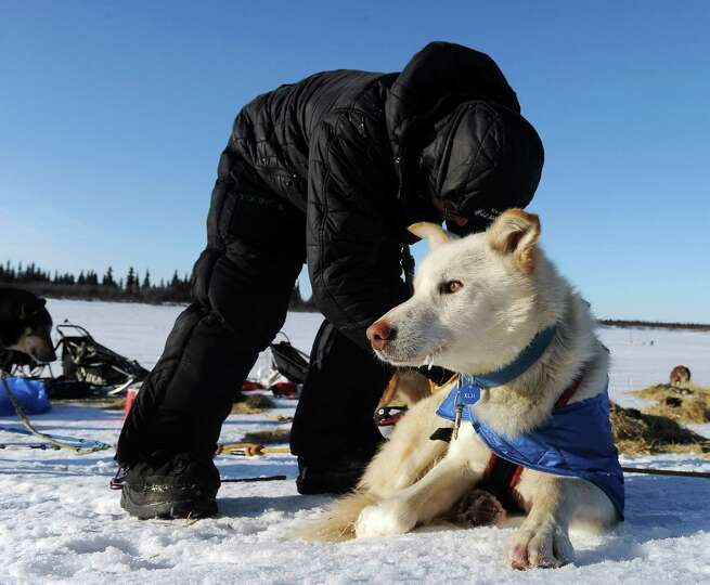 Mitch Seavey works with his dog team after he arrived at the White Mountain checkpoint during the Id
