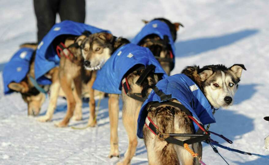 Mitch Seavey's dogs look back at the musher after they arrived at the White Mountain, Alaska, chec
