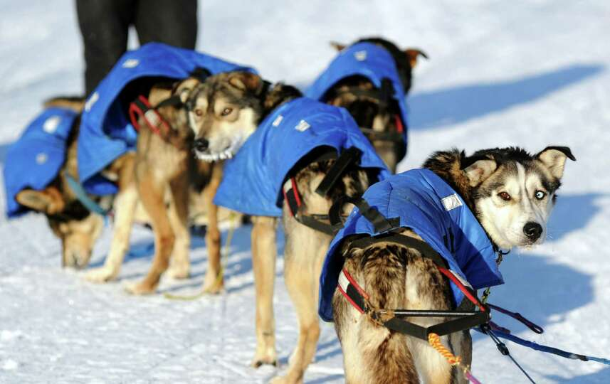 Mitch Seavey's dogs look back at the musher after they arrived at the White Mountain checkpoint du