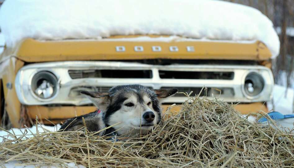 A dog belonging to Ralph Johannessen, from Dagali, Norway, rests on a bed of straw at the Takotna, A