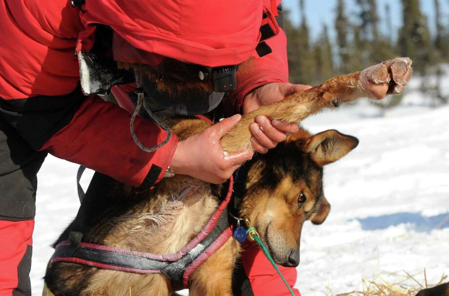In this Thursday, March 6, 2014 photo, Ray Redington Jr., of Wasilla, Alaska, rubs medication into Shrek's leg at the Cripple checkpoint of the 2014 Iditarod Trail Sled Dog Race, in Cripple, Alaska.  (AP Photo/The Anchorage Daily News, Bob Hallinen)  LOCAL TV OUT (KTUU-TV, KTVA-TV) LOCAL PRINT OUT (THE ANCHORAGE PRESS, THE ALASKA DISPATCH)  ORG XMIT: AKAND201 Photo: Bob Hallinen, AP / Anchorage Daily News