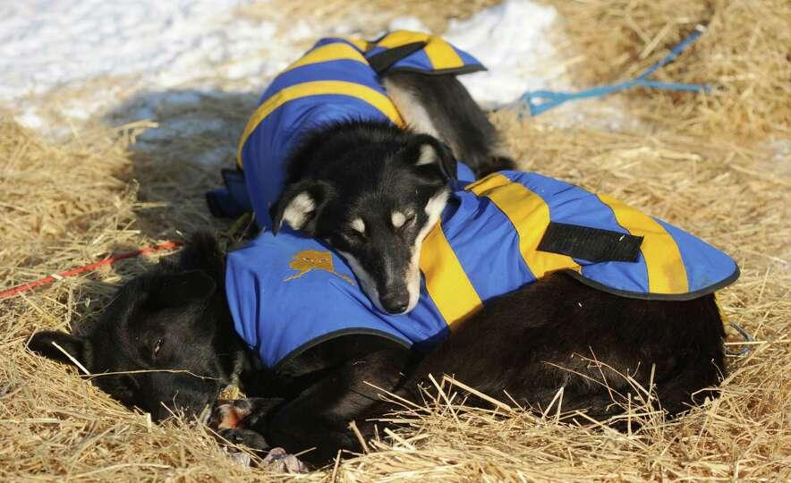 Hugh Neff's dog team sleeps in the sun at the Cripple checkpoint during the Iditarod Trail Sled Dog