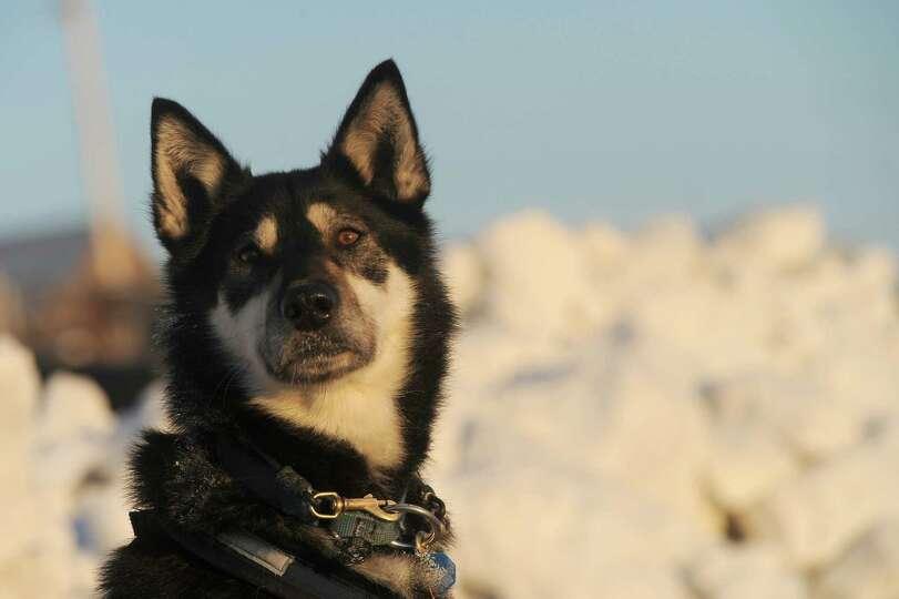 Trix, a team dog for Iditarod musher John Baker, from Kotzebue, AK, keeps an eye on the musher at th