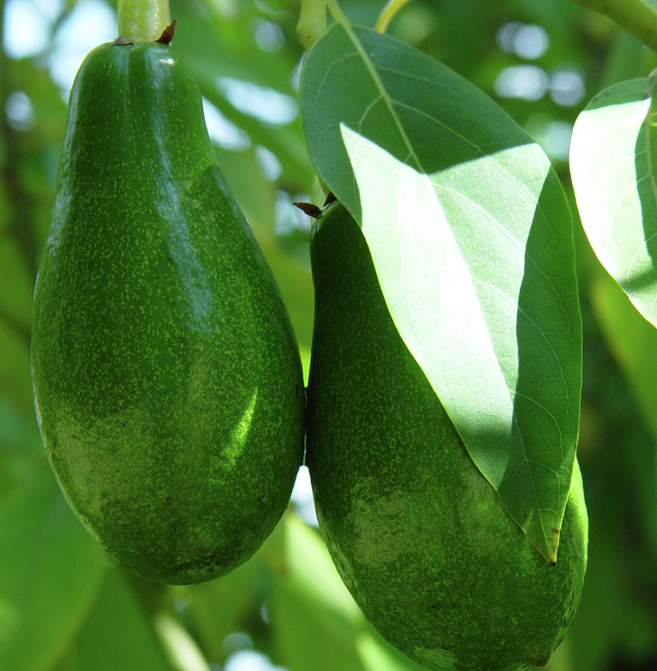 Grow avocadoes on the southeast side of the house to protect from winds. Some varieties of avocado trees have survived hard freezes in the area.