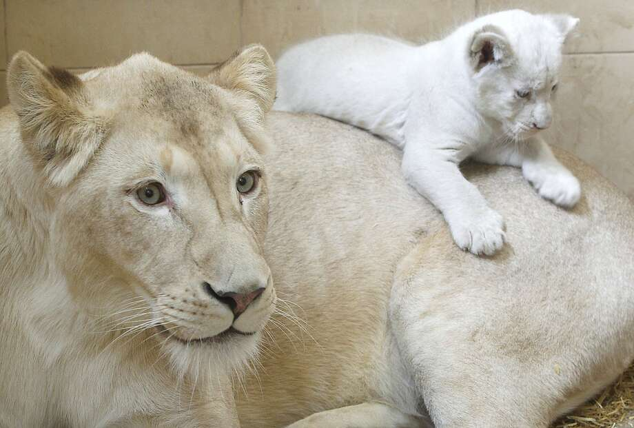 Meanwhile at a private zoo Borysew, Poland, one of Azira's three cubs, born Jan. 28 and all white like her, climbs to a higher vantage point. Photo: Czarek Sokolowski, Associated Press