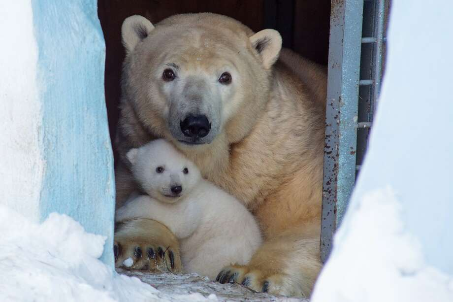 Gerda the polar bear and her baby peek out from their den at the Zoo in Novosibirsk, Russia. The cub was born in December. Photo: Ilnar Salakhiev, Associated Press