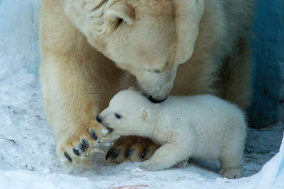 Sometimes you have to bite Mom's paw just to get her to stop stepping on you. Photo: Ilnar Salakhiev, Associated Press