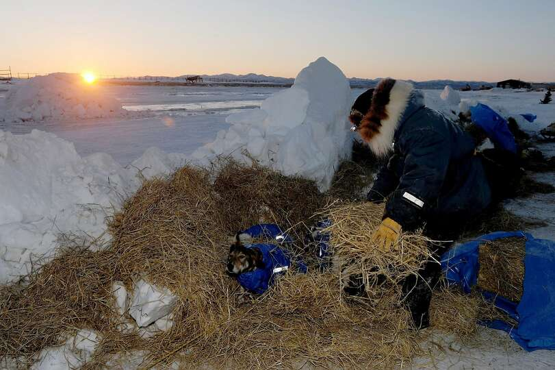 Iditarod musher Wade Marrs, from Wasilla, Alaska, puts straw down for his dogs at the Unalakleet che