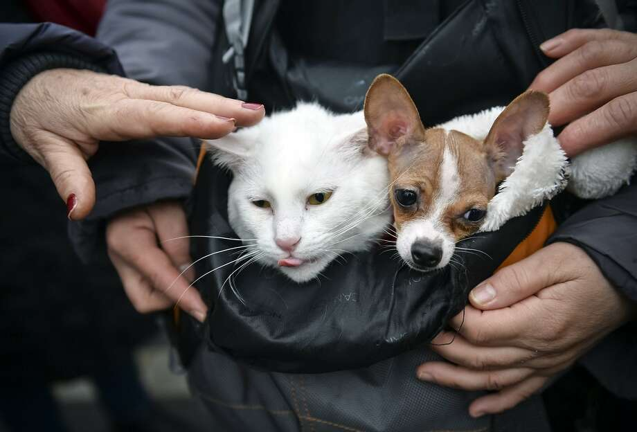 Peaceful co-existence: Cats and a dogs can live together happily, even in a backpack, as this Romanian couple demonstrate. The pair belong to a protester who was demonstrating against stray-dog culling in Bucharest. Photo: Andreea Alexandru, Associated Press