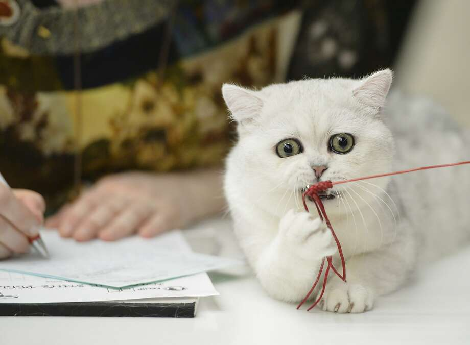Wanna see me do it again?A British shorthair demonstrates her prowess catching a string toy for a judge at an international feline beauty show in Bucharest. Photo: Andreea Alexandru, Associated Press