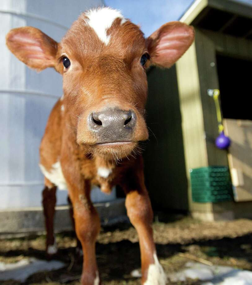Prim, one of two new milking short-horn calves at Stamford Museum and Nature Center on Tuesday, March 11, 2013. Both calves were born in New Hampshire; Prim was born December 3, 2013, and Nessie was born January 22, 2014. Photo: Lindsay Perry / Stamford Advocate
