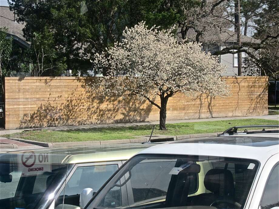 Mexican plum in bloom, seen from the front dining deck at Good Dog Houston. Photo: Alison Cook