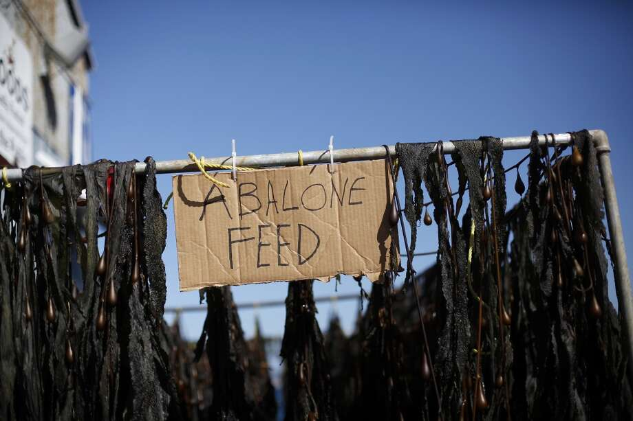 Kelp is hung to dry to feed the abalone at the Monterey Abalone Company in Monterey. Photo: Sarah Rice, Special To The Chronicle