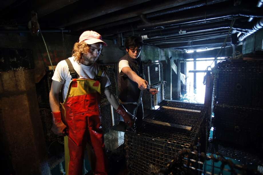 Jacob Harris, left, an abalone farmer, and Andrew Kim, an aquaculturist, pull up cages of abalone at the Monterey Abalone Company. Photo: Sarah Rice, Special To The Chronicle