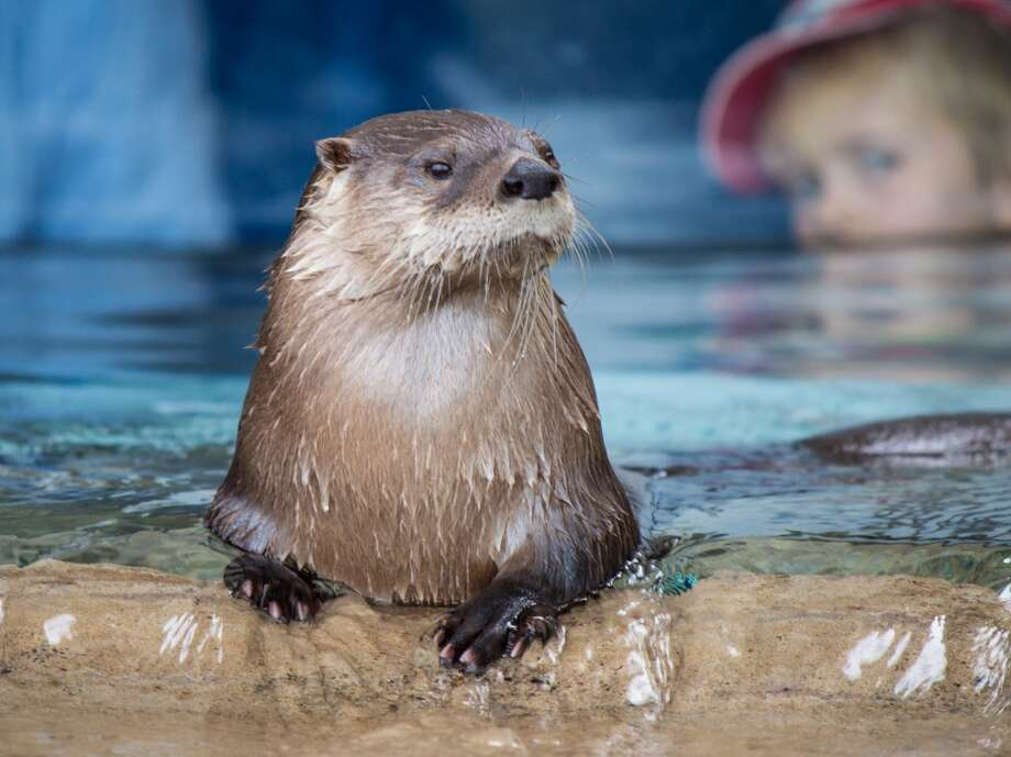 Pete Tedesco watches a North American River Otter at the Otter Creek exhibit at the Texas State Aquarium in Corpus Christi. Photo: John Tedesco, San Antonio Express-News