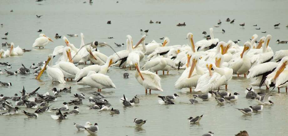 Pelicans, seagulls and scores of other birds flock to the Hans & Pat Suter Wildlife Refuge, which stretches along Oso Bay in Corpus Christi. Photo: John Tedesco, San Antonio Express-News