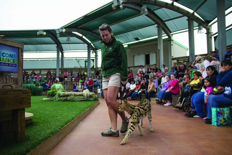 Kelsey McFarland, an animal trainer at the Texas State Aquarium in Corpus Christi, walks with Kimani the African serval, a wild cat. Photo: John Tedesco, San Antonio Express-News