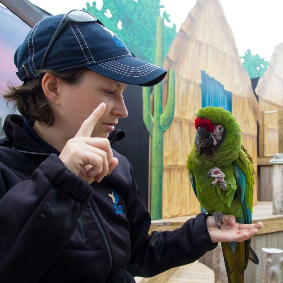 Sarah Tilton, an animal trainer at the Texas State Aquarium, encourages Kogi the macaw to perform a trick. Kogi is an 8-year-old military macaw and can live up to 80 years. Military macaws got the name for the red brims above their beaks. Photo: John Tedesco, San Antonio Express-News