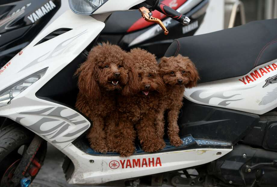 Triple chocolate scoot: Three dogs of a kind wait for their owner to take them home on his battery-powered scooter in Beijing. Photo: Mark Ralston, AFP/Getty Images