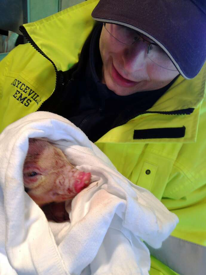 Saved his bacon: EMT Nick Feeney holds one of the three little pigs that firefighters rescued from a barn fire near Boyceville, Wis. Schutts said they had been worried about largest of the piglets, which they dubbed Big Pig, due to breathing problems, but he is doing fine now. Photo: Tonya Schutts, Associated Press